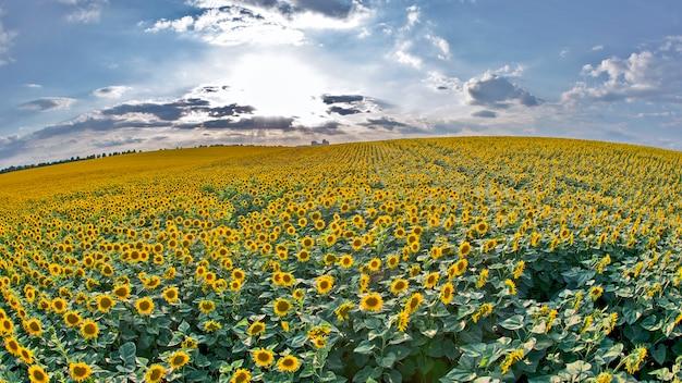 Groot gebied van bloeiende zonnebloemen in zonlicht. agronomie, landbouw en plantkunde