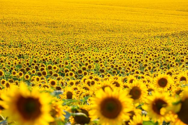 Groot gebied van bloeiende zonnebloemen in zonlicht