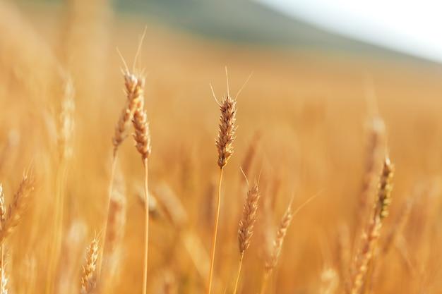 Groot gebied van rijpe tarwe onder de blote hemel op zonnige dag