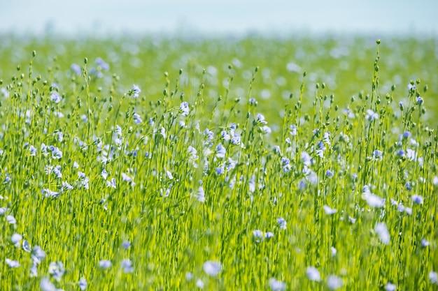 Groot gebied van vlas in bloei in de lente