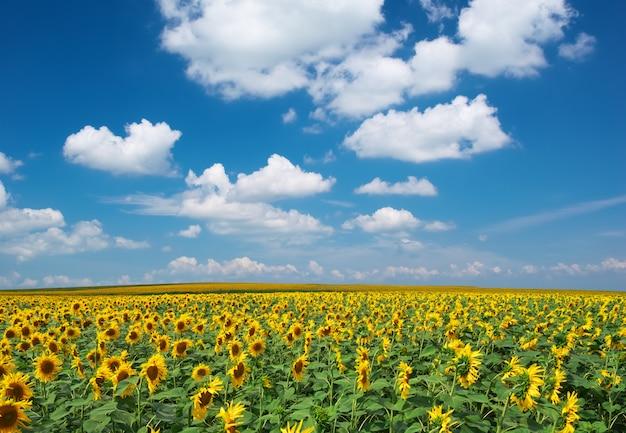 Groot gebied van zonnebloemenlandschap