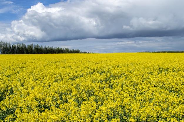 Groot geel veld van bloeiende canola. heldere koolzaad bloemen veld. natuurlijk landschap. letland, europa