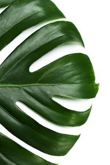 Groot groen blad van monstera-installatie op witte achtergrond