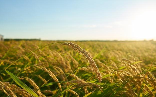 Groot groen padieveld met groene rijstplanten in rijen bij zonsondergang