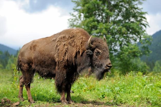 Groot mannetje van bizons in het bos