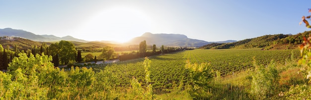 Groot panoramisch uitzicht op de wijngaarden in de buurt van alushta