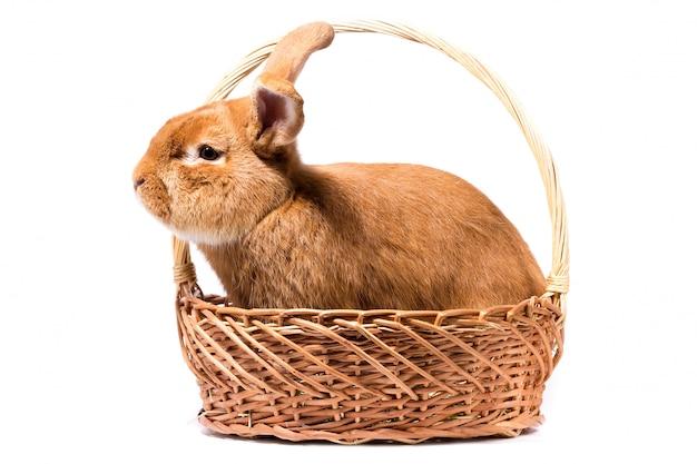 Groot pluizig rood konijn in een mand, isoleer, paashaas