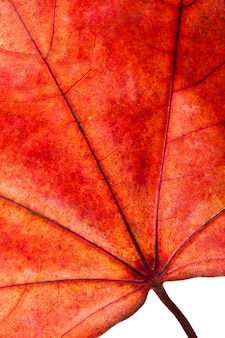 Groot rood esdoornblad dat op wit wordt geïsoleerd