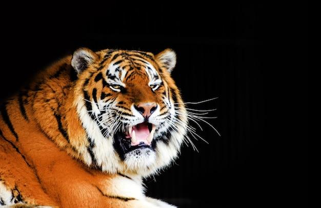 Groot tijgermannetje op zwarte achtergrond.