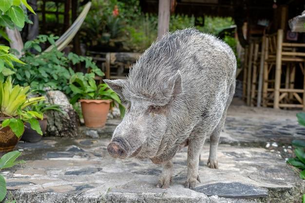 Groot varken in de buurt van het strandcafé