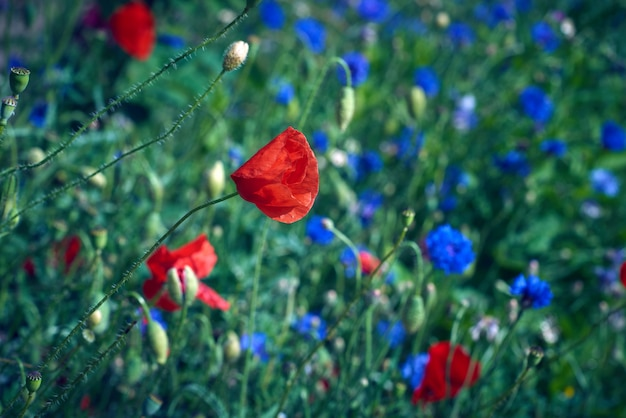 Groot veld met blauwe korenbloemen en rood bloeiende klaprozen