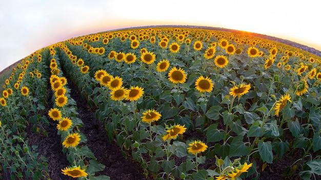 Groot veld met bloeiende zonnebloemen. agronomie, landbouw