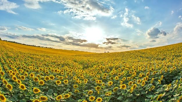 Groot veld met bloeiende zonnebloemen tegen de achtergrond van een zonnige bewolkte hemel. agronomie, landbouw
