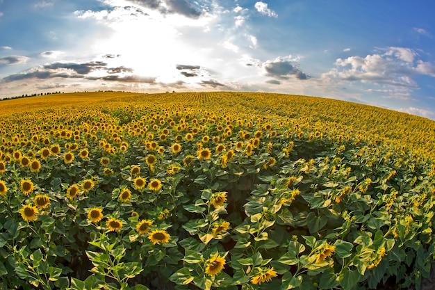 Groot veld met bloeiende zonnebloemen tegen de achtergrond van een zonnige bewolkte hemel