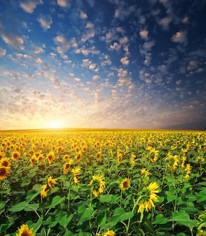 Groot veld met zonnebloemen