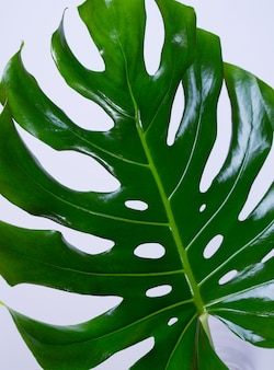Groot vers monstera-blad, zwitserse kaasplant tropisch tegen lichtgrijze kleurenachtergrond. zomer seizoensgebonden achtergrond