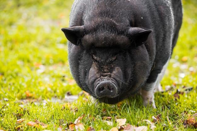 Groot vietnamees zwart varken close-up portret buiten