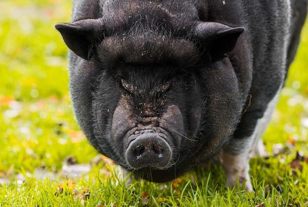Groot vietnamees zwart varken close-up portret op de boerderij