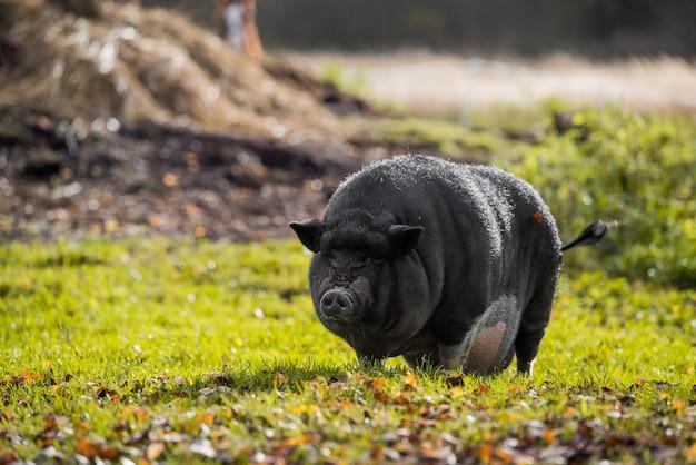 Groot vietnamees zwart varkensportret buiten op de boerderij.