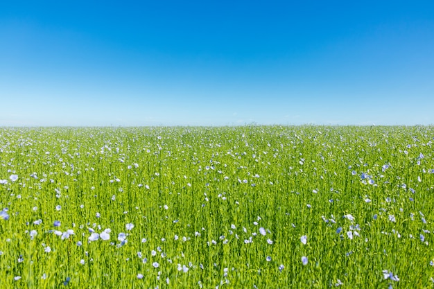 Groot vlasgebied in bloei in de lente
