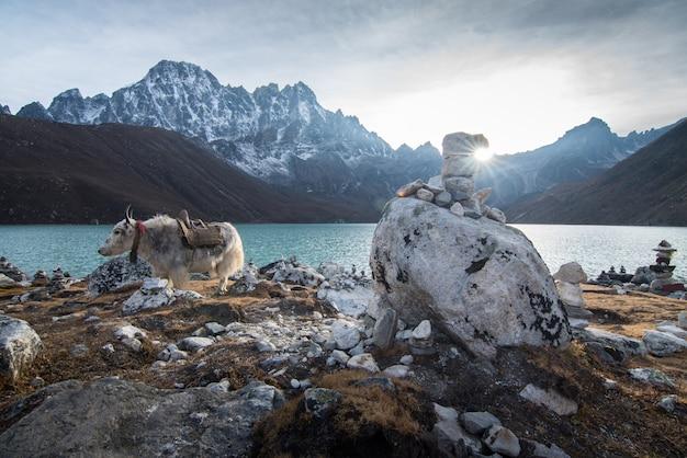 Groot zwart himalaya yak drinkwater uit het gokyo-meer in nepal.