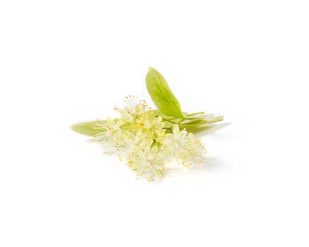 Grootbladige linden of tilia tak bedekt met kleine gele geurige bloemen geïsoleerd op een witte achtergrond, kopieer ruimte. geneeskrachtige plant