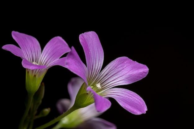 Grootbloemige roze zuring van de soort oxalis debilis