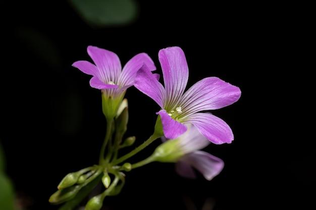 Grootbloemige roze-zuring van het geslacht oxalis