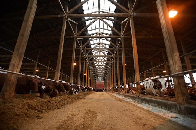 groothoek achtergrondafbeelding van industriële koeienstal met koeien in rijen hooi eten, kopie ruimte