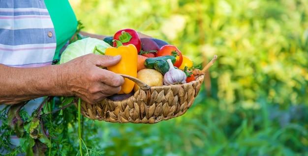 Grootmoeder in de tuin met een oogst van groenten. selectieve aandacht.