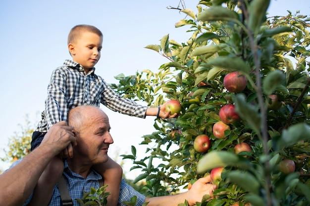 Grootvader met zijn kleinzoon op de rug en samen appels plukken in fruitboomgaard