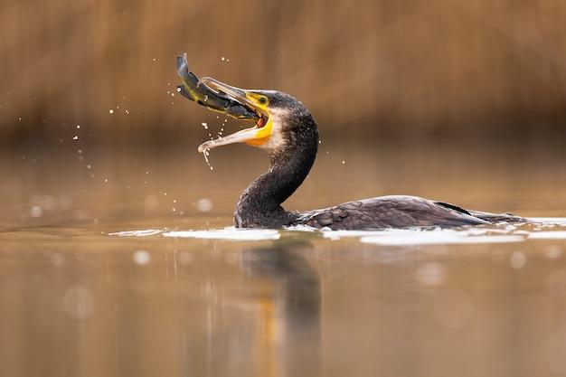 Grote aalscholver die een vis vangt tijdens jacht in water