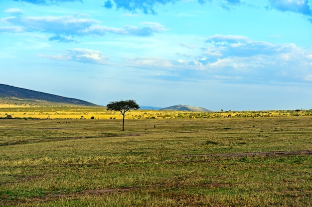 Grote acaciaboom in de open savannevlaktes van oost-afrika