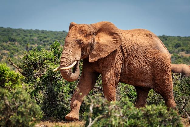 Grote afrikaanse olifant wandelen in struiken van addo national park, zuid-afrika