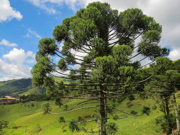 Grote araucaria midden in de bossen