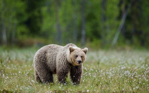 Grote beer zit tussen de witte bloemen