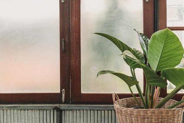 Grote blad kamerplant versierd bij de ramen