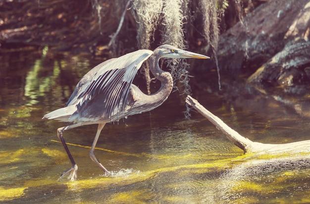 Grote blauwe reiger poseren in florida wetland