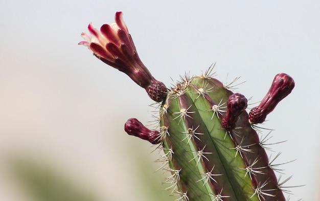 Grote bloeiende cactus in de woestijn close-up