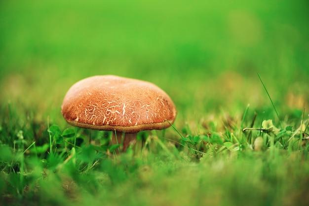 Grote boletus in bos, eetbare paddestoelporcini met zonlekkeneffect. gevonden paddestoelen onder een boom tijdens paddestoelen