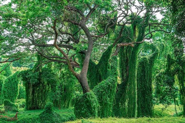 Grote bomen omzoomd met klimop en klimplanten, jungle, almendares park, havana, cuba