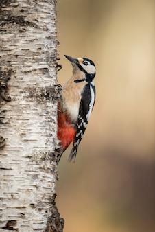Grote bonte specht in een boomstam op zoek naar larbas