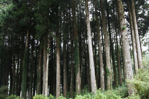 Grote boom bij alishan nationaal parkgebied in taiwan