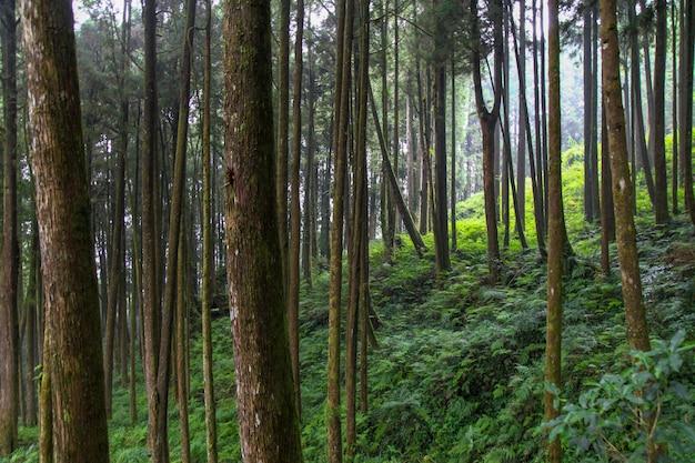 Grote boom bij nationaal het parkgebied van alishan in taiwan.