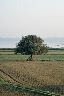 Grote boom eenzaam in het veld