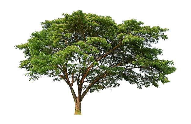 Grote boom geïsoleerd op een witte achtergrond voor gebruik in architectonisch ontwerp of meer