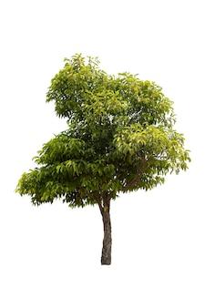 Grote boom geïsoleerd op witte achtergrond