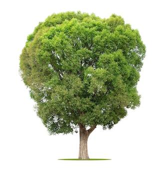 Grote boom geïsoleerd