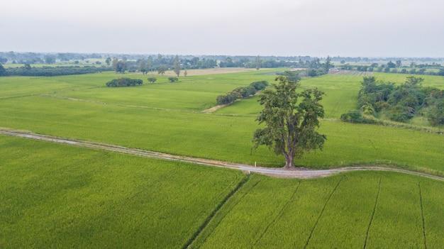 Grote boom langs voetpad naast twee rijstvelden