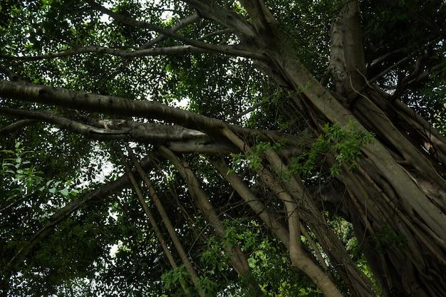 Grote boom met hangende wijnstokken